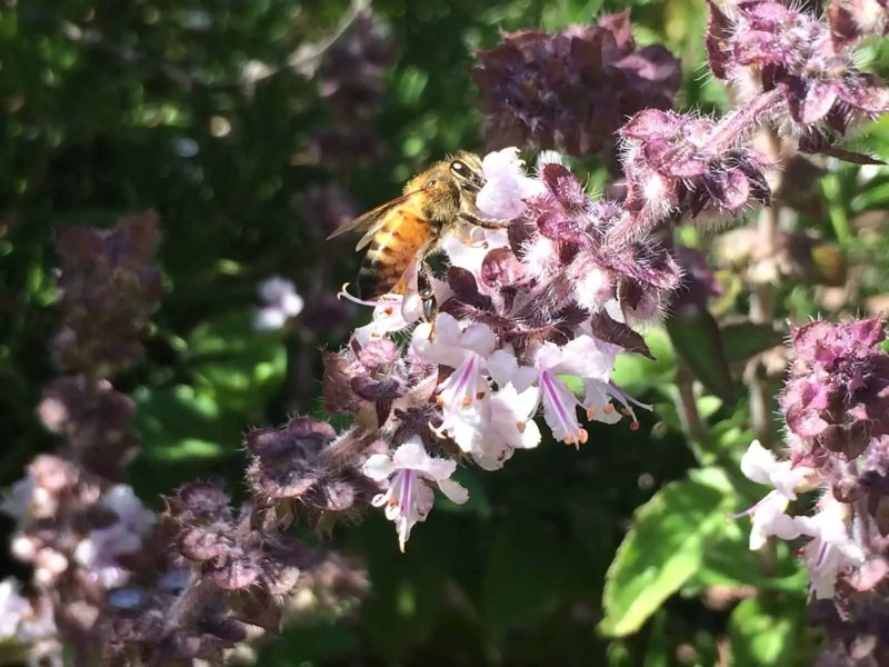 Honey Bee On African Blue Basil