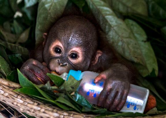 Baby Gerhana trinkt noch aus dem Fläschchen.