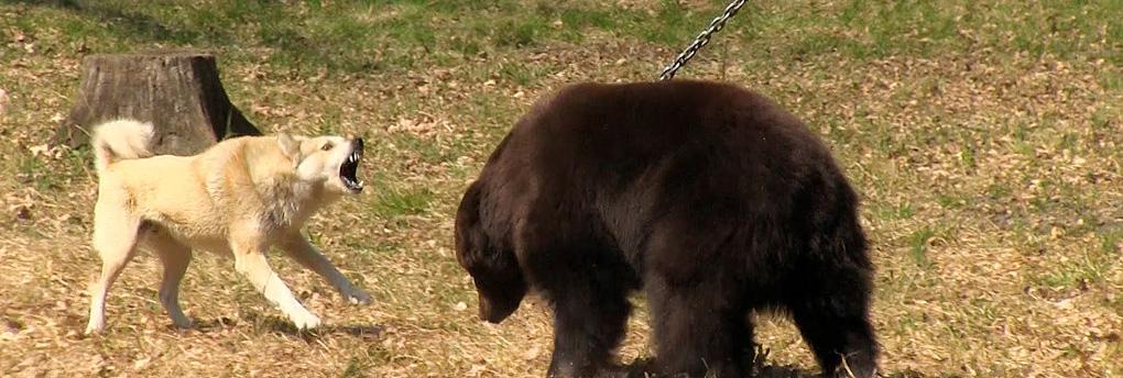 Trotz Verbot gibt es immer noch Kampfbären in der Ukraine.