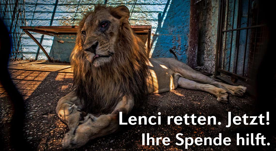 Löwe Lenci leidet unter den schlimmen Haltungsbedingungen im Safari Park Zoo in Fier, Albanien