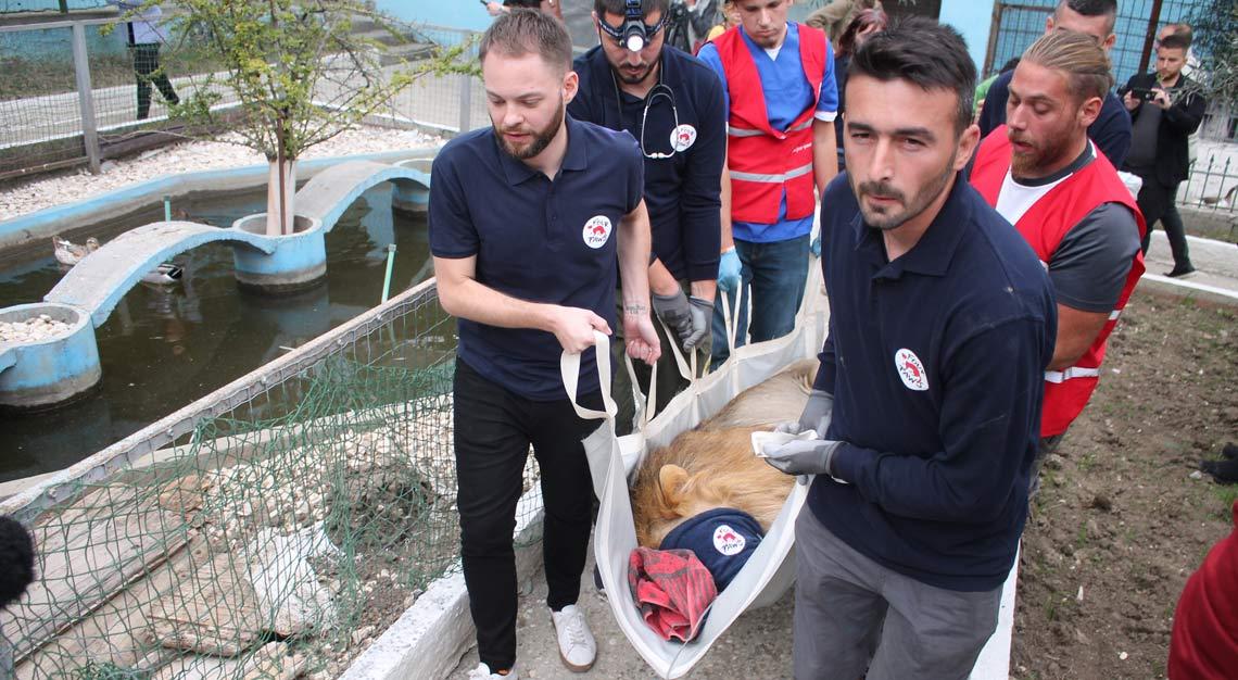 Tierrettung Albanien: Das VIER PFOTEN Team trägt den narkotisierten Löwen Lenci zum Transporter.