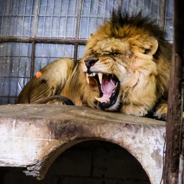 Fünf Löwen waren unter den geretteten Tieren.