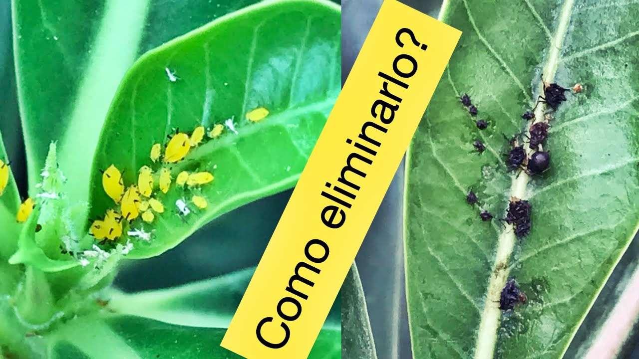 Remedios Caseros Para Eliminar El Pulgón En Las Plantas Infoagro