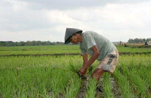 Serap Ribuan Ton Gabah, Mandiri Berikan Fasilitas KUR ke Petani