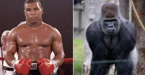 Former American heavy weight champion Mike Tyson has disclosed he once offered a zoo attendant $10,000 so that he will be allowed to fight a gorilla.