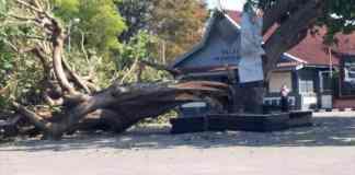 Pohon Gada Roboh di Istana Gebang
