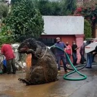 Извадиха плъх с човешки ръст от канализация в Мексико