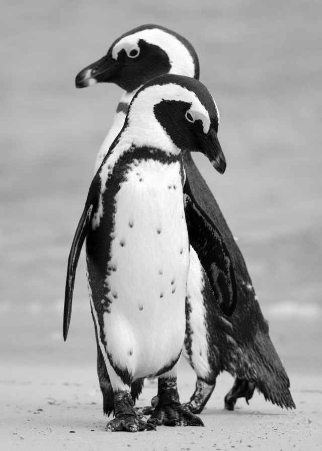 standing two black and white penguins