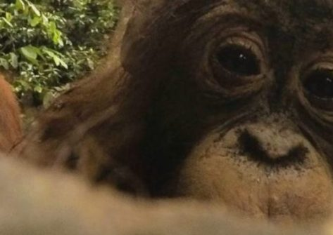 Selfie GoPro scattato da un orango