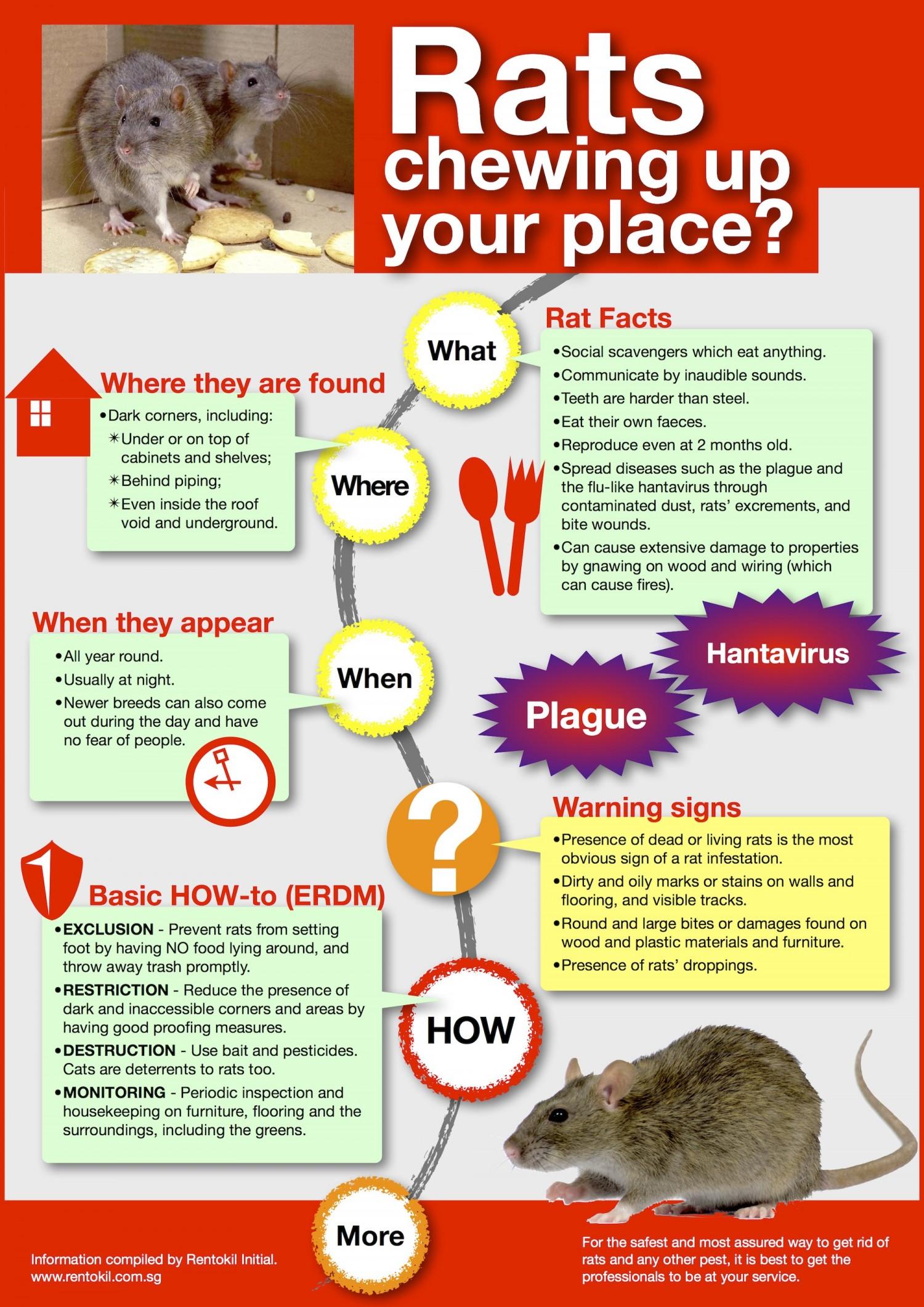 rats chewing up your place-Rat Facts and where they found