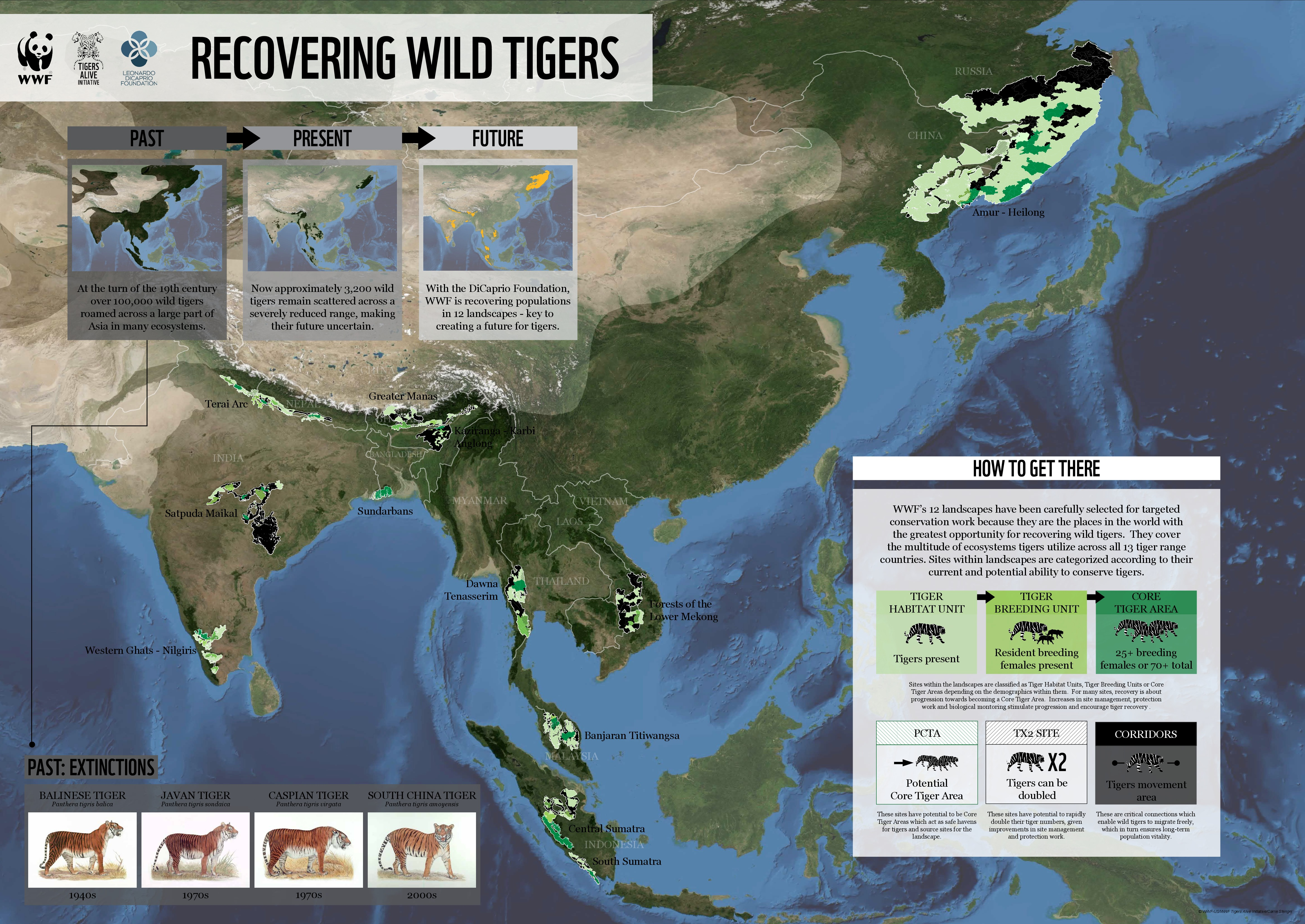 recovering-wild-tigers_52563e5962dfc