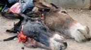 donkeys killed