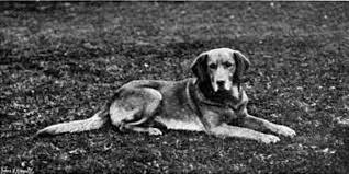 labrador giallo nella storia del labrador retriever