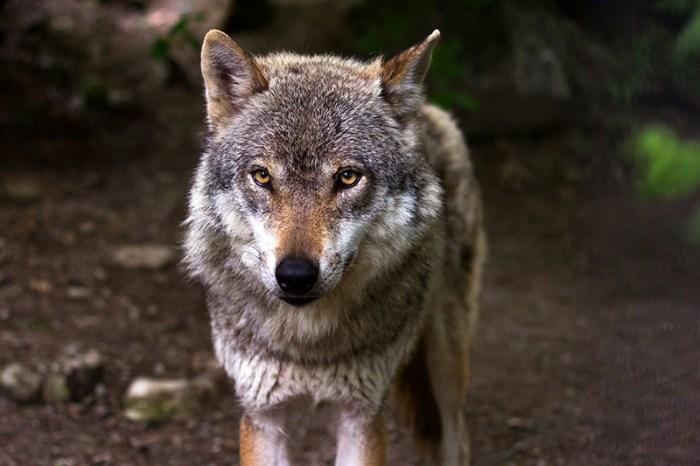 El Tribunal Supremo falla a favor de Ecologistas en Acción y define al lobo como especie protegida