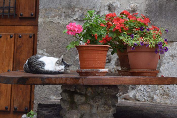 """ALAS Liébana alerta sobre la superpoblación felina en la comarca: """"Potes y otros pueblos colindantes tienen un gran problema con los gatos"""""""