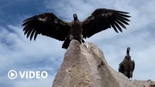 Liberaron con éxito a siete crías de cóndores, la suelta más grande realizada en Argentina