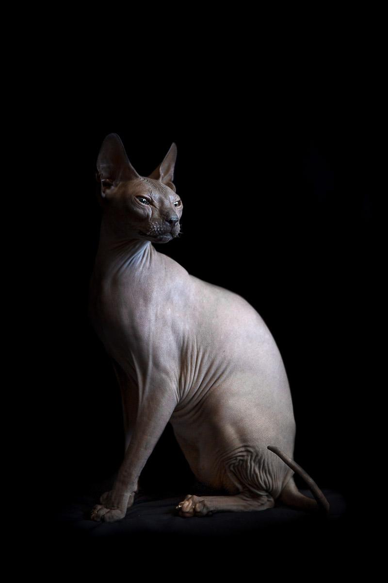 sphynx-cat-photos-by-alicia-rius-24