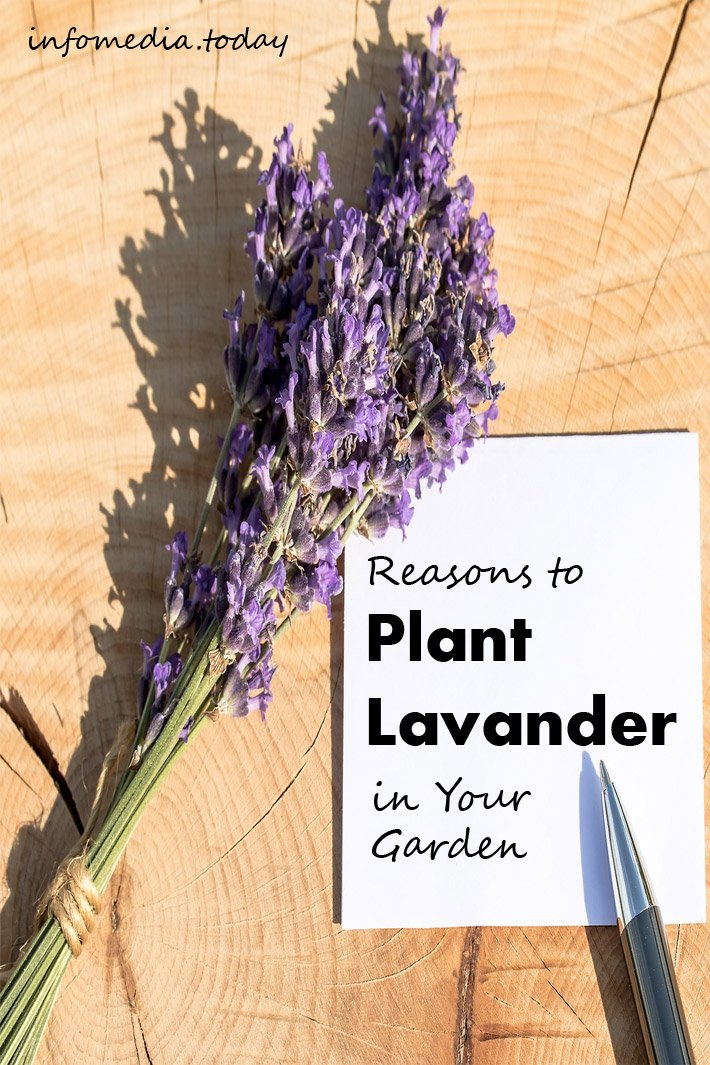 Reasons to Plant Lavender in Your Garden