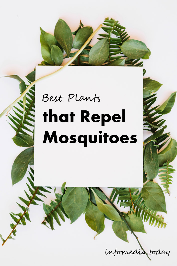 Best Plants that Repel Mosquitoes