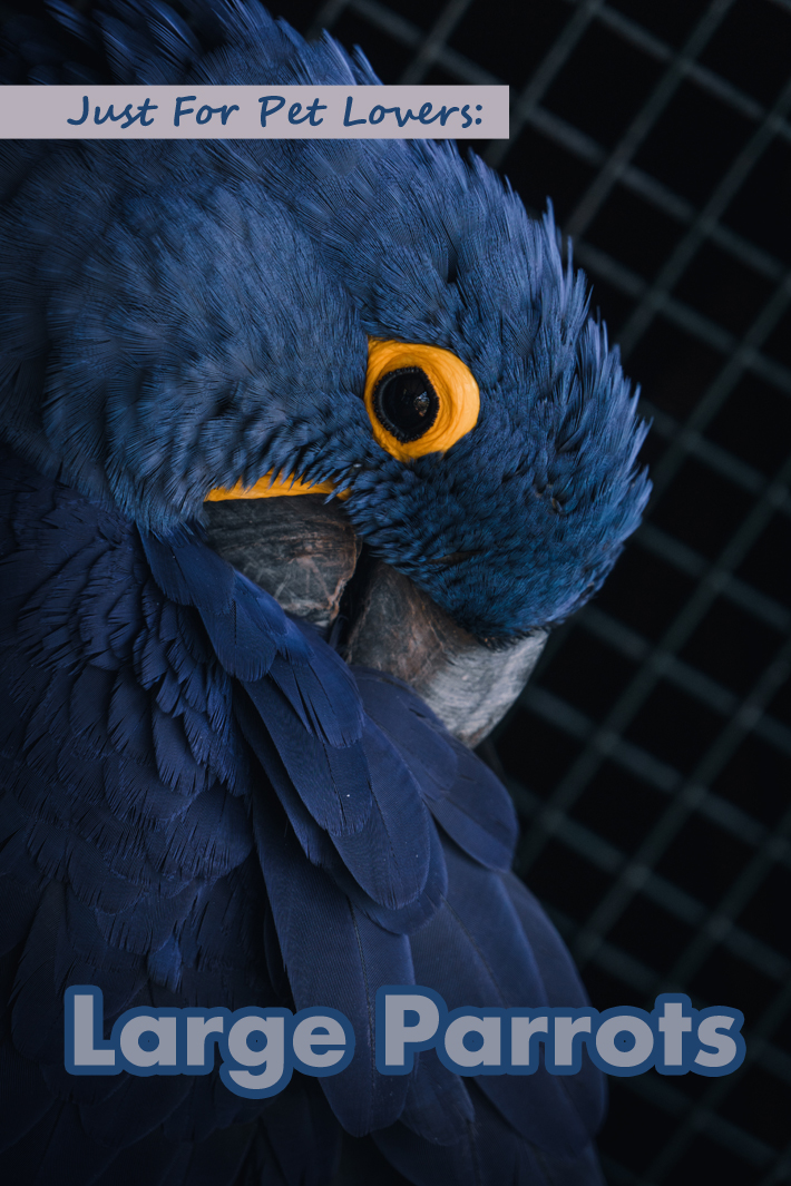 Just For Pet Lovers: Large Parrots