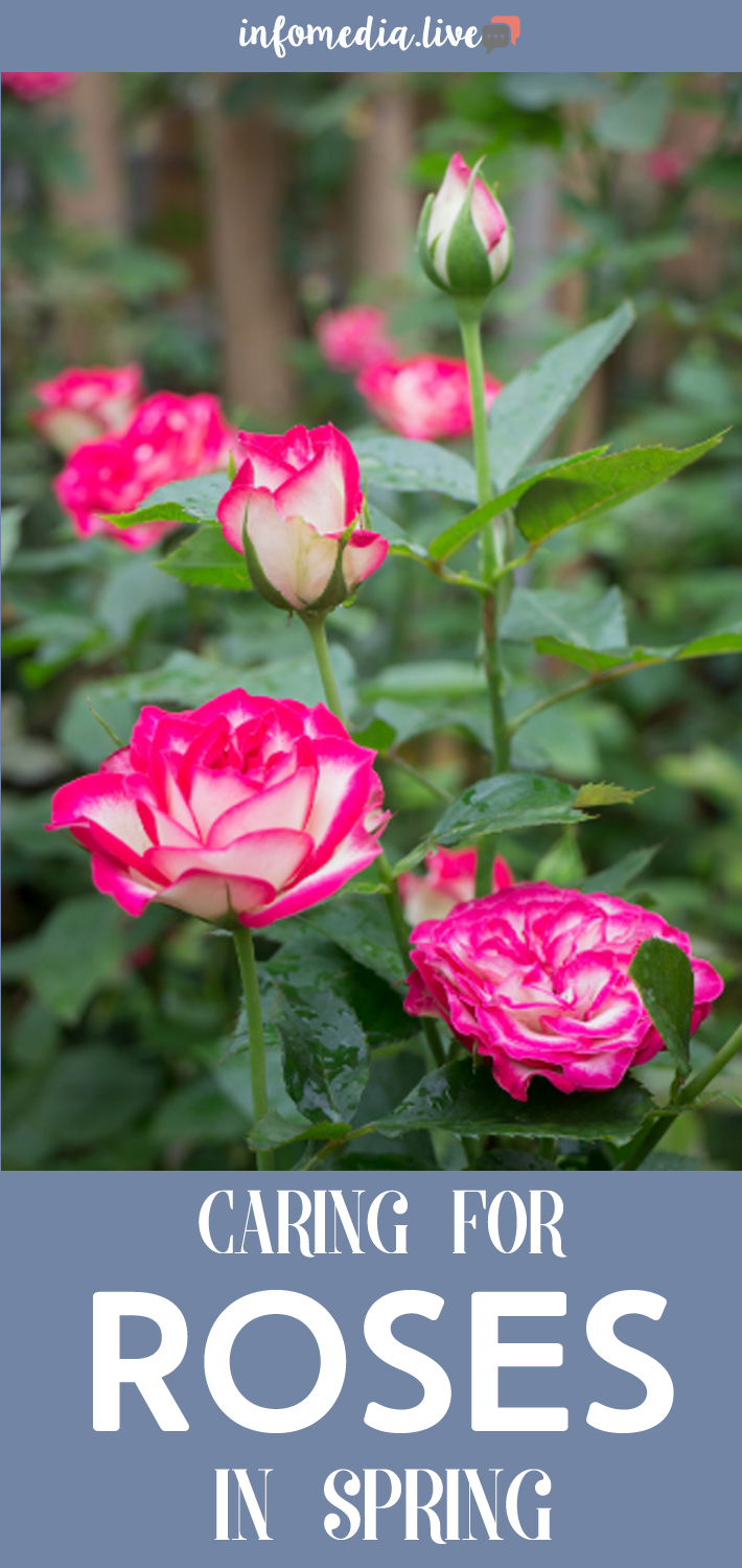 Caring For Roses in Spring