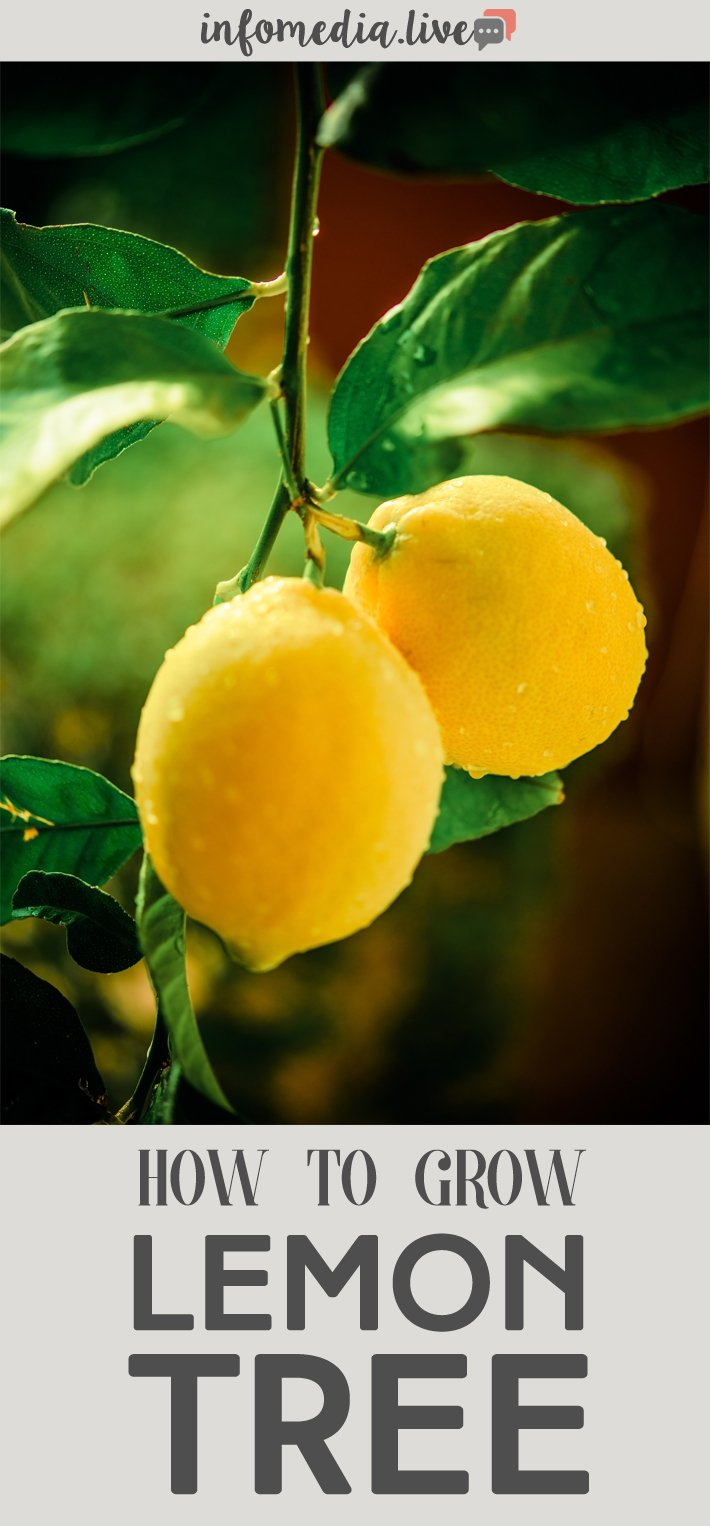 How To Grow Lemon Tree In A Pot