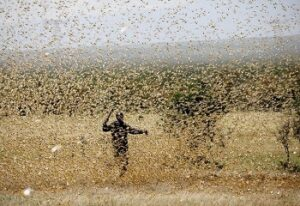 locust invade a farmland in ethiopia