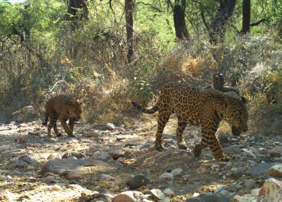 Una hembra Jaguar como la de la imagen, fue asesinado en un rancho de Granados, Sonora.