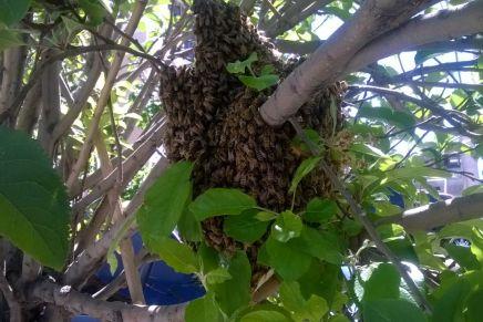 VIDEO: ¿Qué hacer en caso de presencia de panal o enjambre de abejas? La UMPC de Nogales te lo indica…