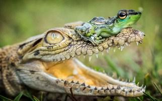 ФОТО ДНЯ: Индия: Лягушка и крокодил