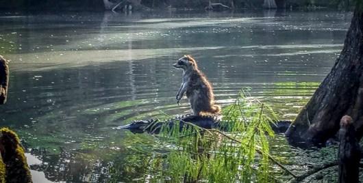 ФОТО ДНЯ: Енот верхом на аллигаторе