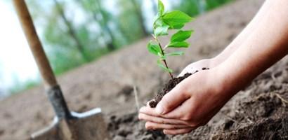 Primaria a plantat peste 300 de arbori pe centura, iar altii de saptamana viitoare