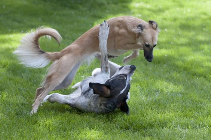 Rvačky s jinými psy