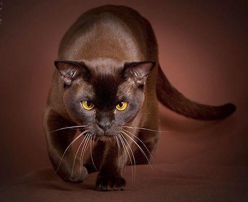 Barmská kočka amerického typu