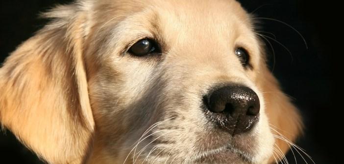 Zdravá strava je ideální prevenci proti onemocnění nejen u štěňat, ale i u  dospělých  psů