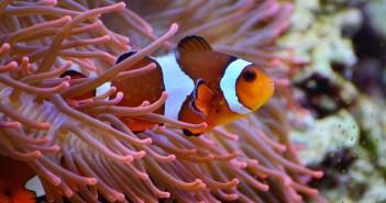 Nemo - klaun očkatý