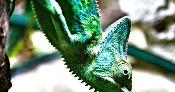 Pořizujete si chameleona domů? Péče o něj není med