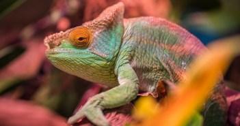 Pět nejčastějších otázek o chameleonech a odpovědi na ně