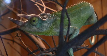 Chameleon Jacksonův – charakteristika i zajímavosti