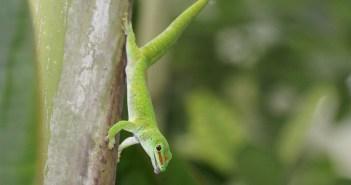 Druhy gekona, které chováme s oblibou