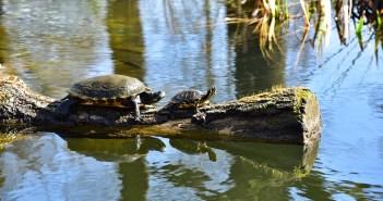 Jak správně chovat vodní želvy a na co si dát pozor
