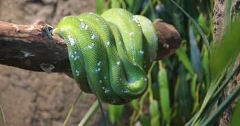 Krajta zelená – zajímavosti a vše o chovu