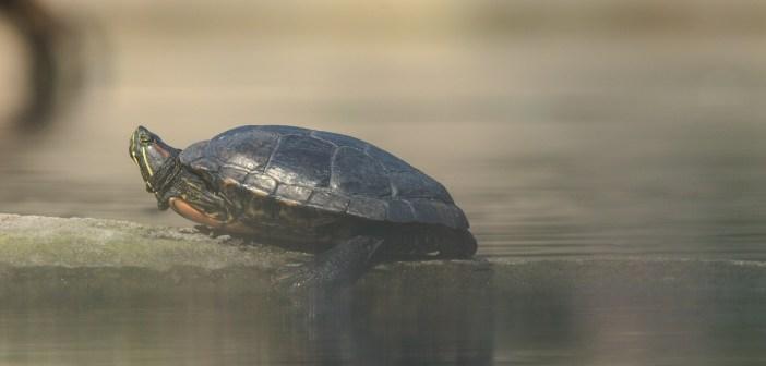 Jaké nemoci trápí želvy? Nebezpečné jsou rinitidy