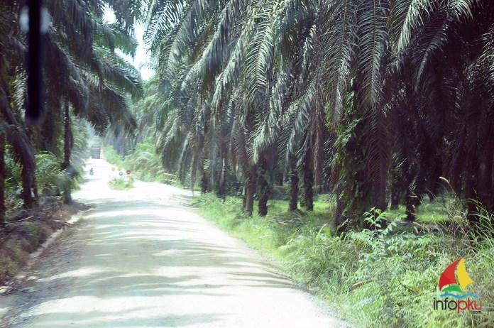 Hampir di sepanjang jalan dapat di temui ladang kelapa sawit | infoPKU