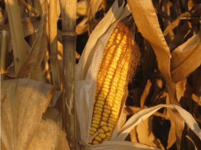 Mazorca maíz 1