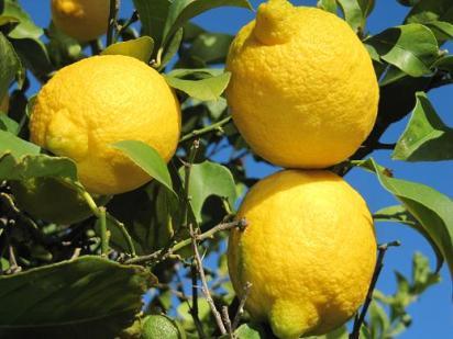 limonero reducida.JPG