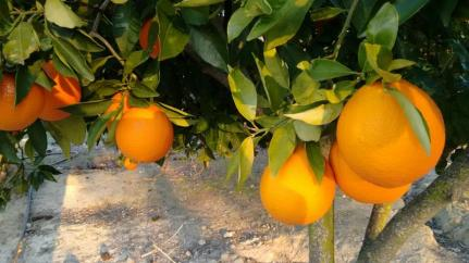 naranjasIMG-20160131-WA0014