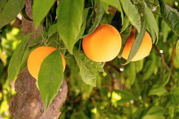 Naranjas IMG_1932