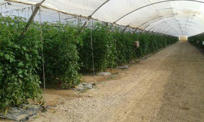 Tomate invernadero.jpg