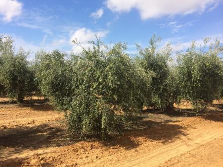 olivar de mesa
